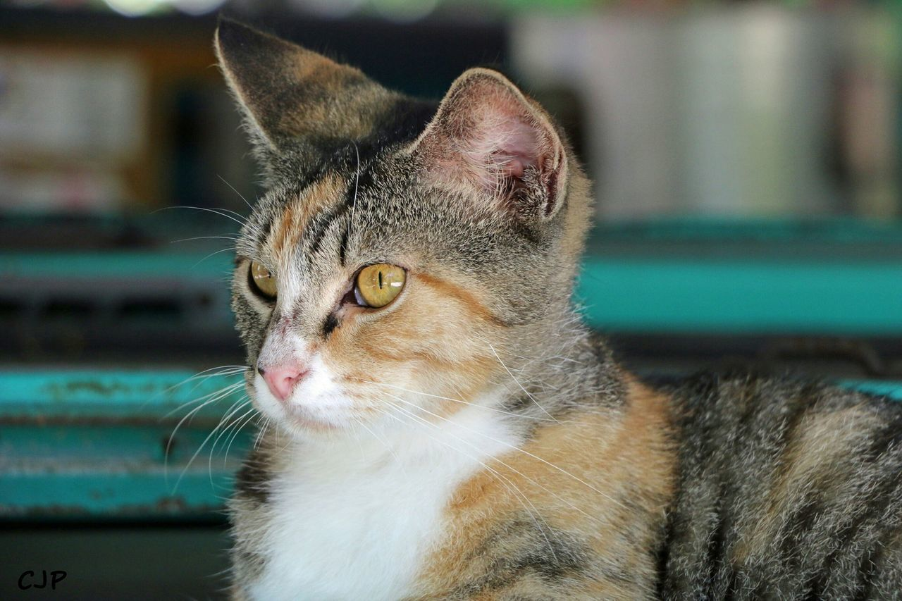domestic cat, one animal, animal themes, feline, mammal, pets, domestic animals, cat, focus on foreground, whisker, no people, close-up, day, portrait, outdoors, sitting