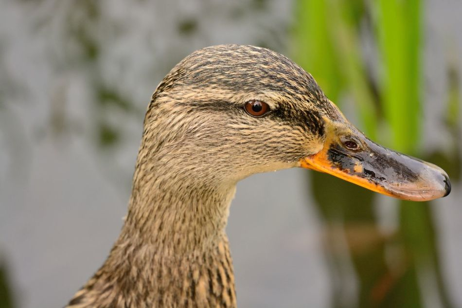 Animal Themes Animals In The Wild Beauty In Nature Check This Out Close-up Day Duck Eye4photography  EyeEm Best Shots EyeEm Gallery EyeEm Nature Lover Focus On Foreground Headshot Mallard Duck Nature Nature Photography Nature_collection Naturelovers No People One Animal Outdoors Portrait Selective Focus Side View Wildlife