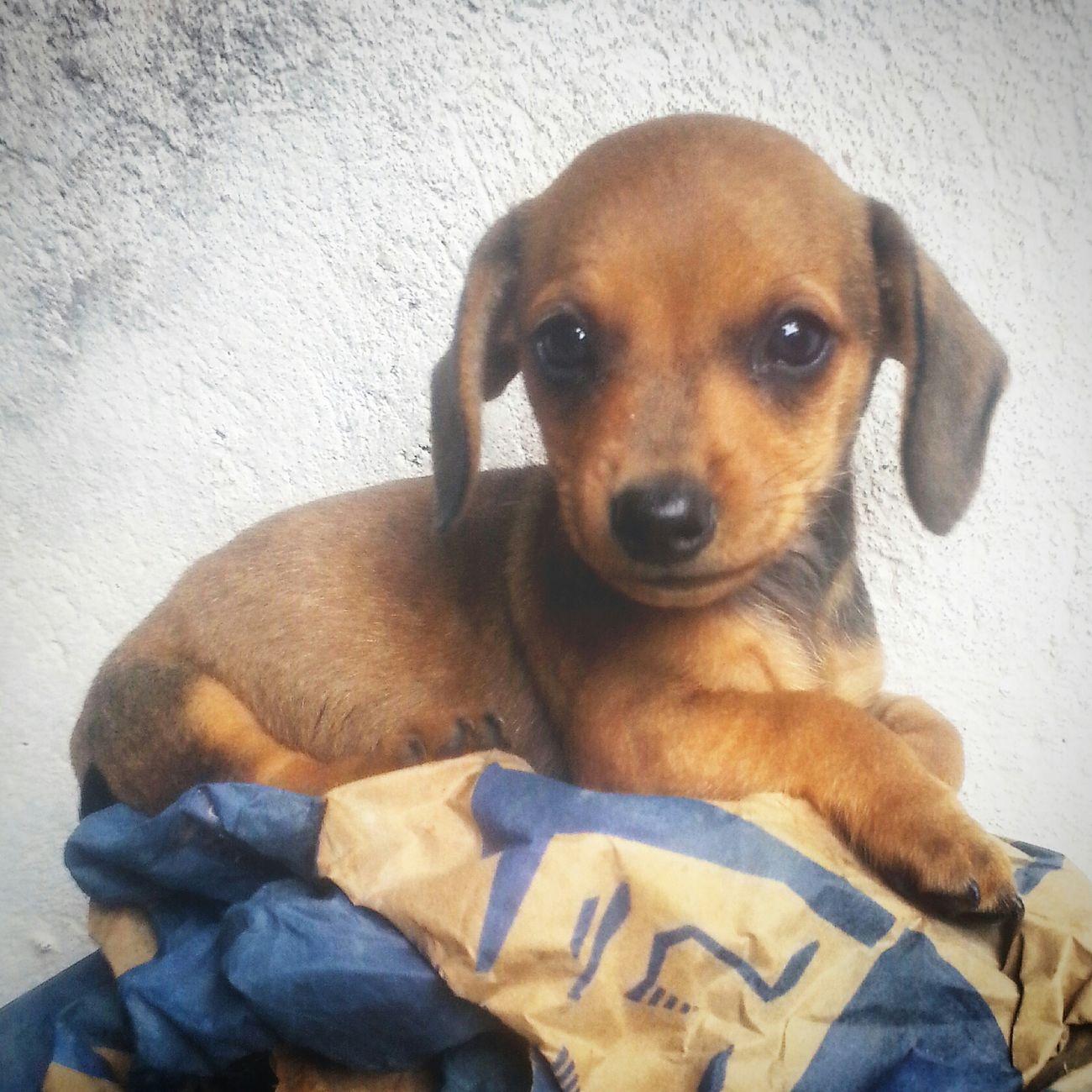 Oiiin ;3 🐶💕 Docinho Pet Love Pet Photography  I Love My Dog Dachshund EyeEm Animal Lover