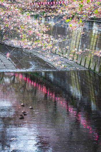 Sakura Trees Beautiful Nature Birds Cherry Blossom Colorful Dreaming Japan Lovers Spring Flowers From My Point Of View Fine Art Landscapes Nature Our Best Pics Pastel Power Reflections River Urban Exploration Street Photography Yeah Springtime! Romantic Capture The Moment Water Reflections Green