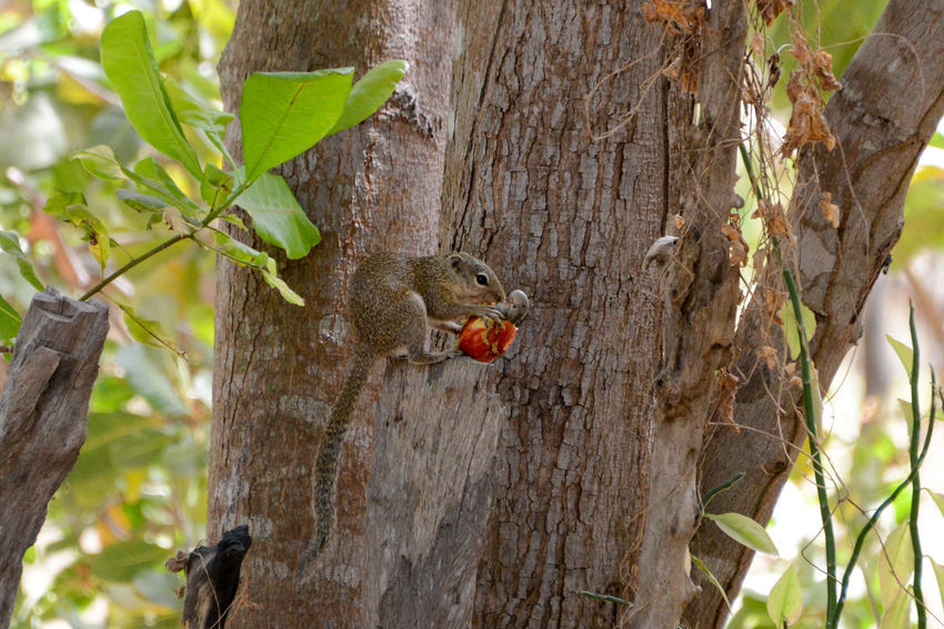Squirrel eating the cashew fruit in Niafrang Senegal Cashew Nuts Niafarang Niafourang Niafrang West Africa Africa Animal Themes Animal Wildlife Animals In The Wild Casamance Cashew Cashew Fruit Fruit Nature No People One Animal Outdoors Senegal Squirrel Tree Tree Trunk