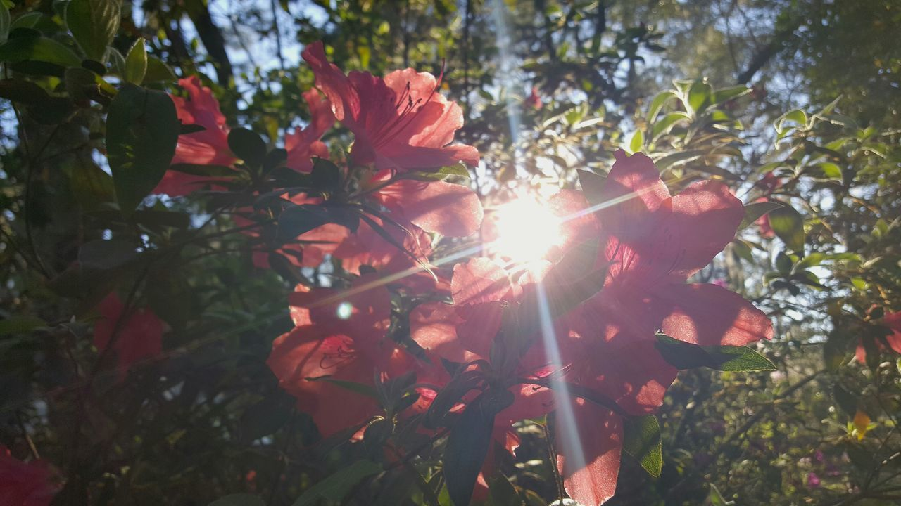 Tree Sunlight Leaf Branch Nature Growth Outdoors Sunbeam Christmas No People Beauty In Nature Low Angle View Sun Close-up Day Tree Area Sky Lightrays Sunrays Azalea Blossoms Spring Awaken Beginnings