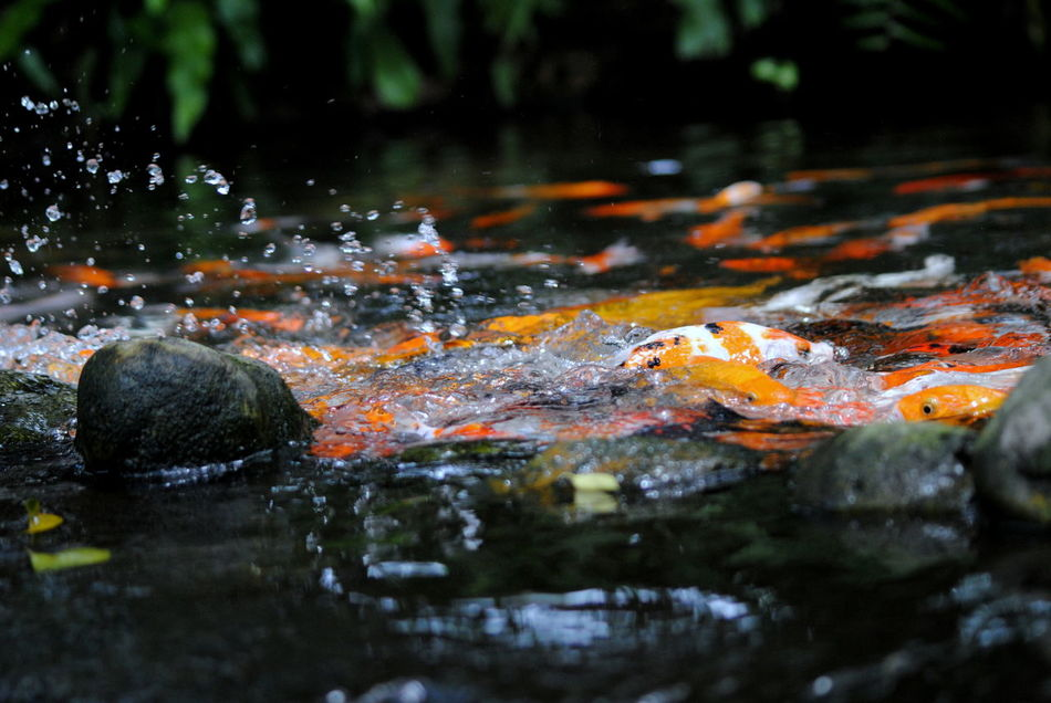 Autumn Beauty In Nature Close-up Day EyeEm Nature Lover Koi Carps Koi Pond Nature No People Outdoors Water