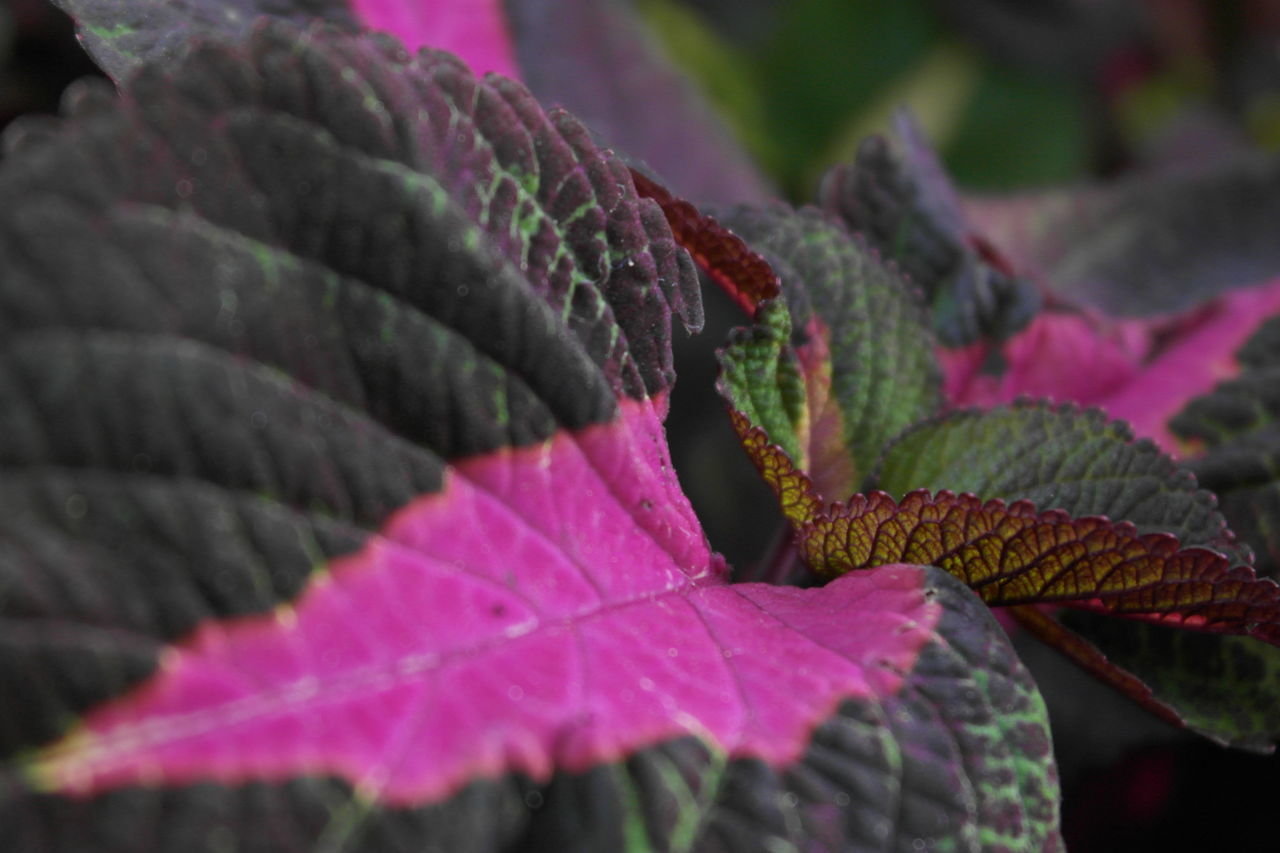 Interesting composition of two colored leaves. Beauty In Nature Close Up Close-up Closeup Depth Of Field Focus On Foreground Green Green Leaves Leaf Leaves Nature Nature Nature Close-up Nature Photography Outdoors Pink Color Pink Leaves Plant Plant Plants Plants And Flowers Purple Red Leaves Two Colours