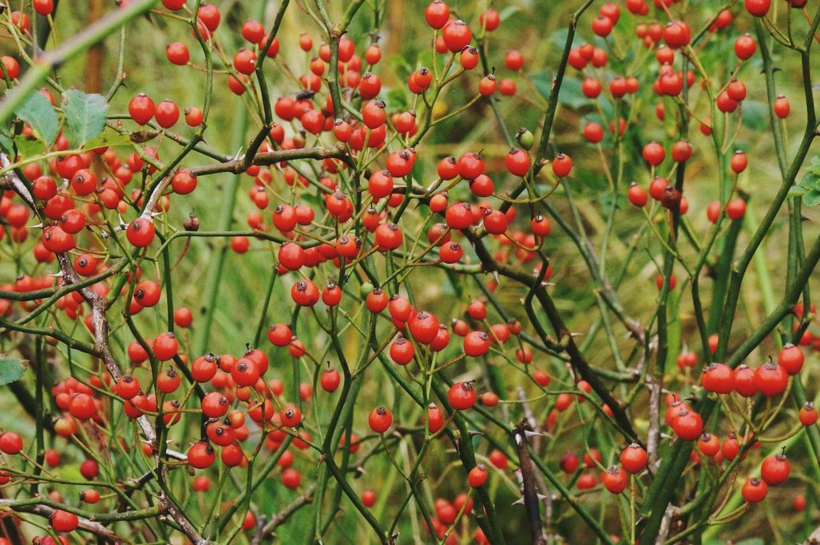 Check This Out Bright_and_bold Green Background Red Berries Rose Seeds Thorny Bush