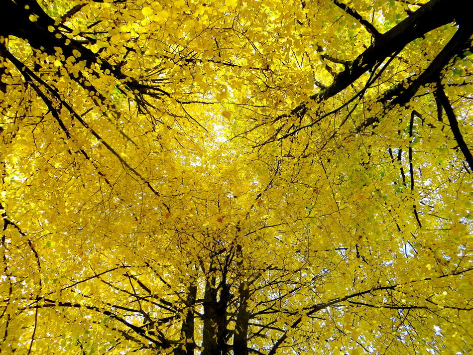 The Three Linden Tree Sisters: so yellow that iy hurts the eyes Autumn Autumn Collection Autumn Colors Autumn Leaves Autumn🍁🍁🍁 Backgrounds Beauty In Nature Branch Close-up Day Fall Beauty Fall Colors Fall Collection Growth Linden Linden Tree Low Angle View Nature No People Outdoors Sky Tranquility Tree Yellow