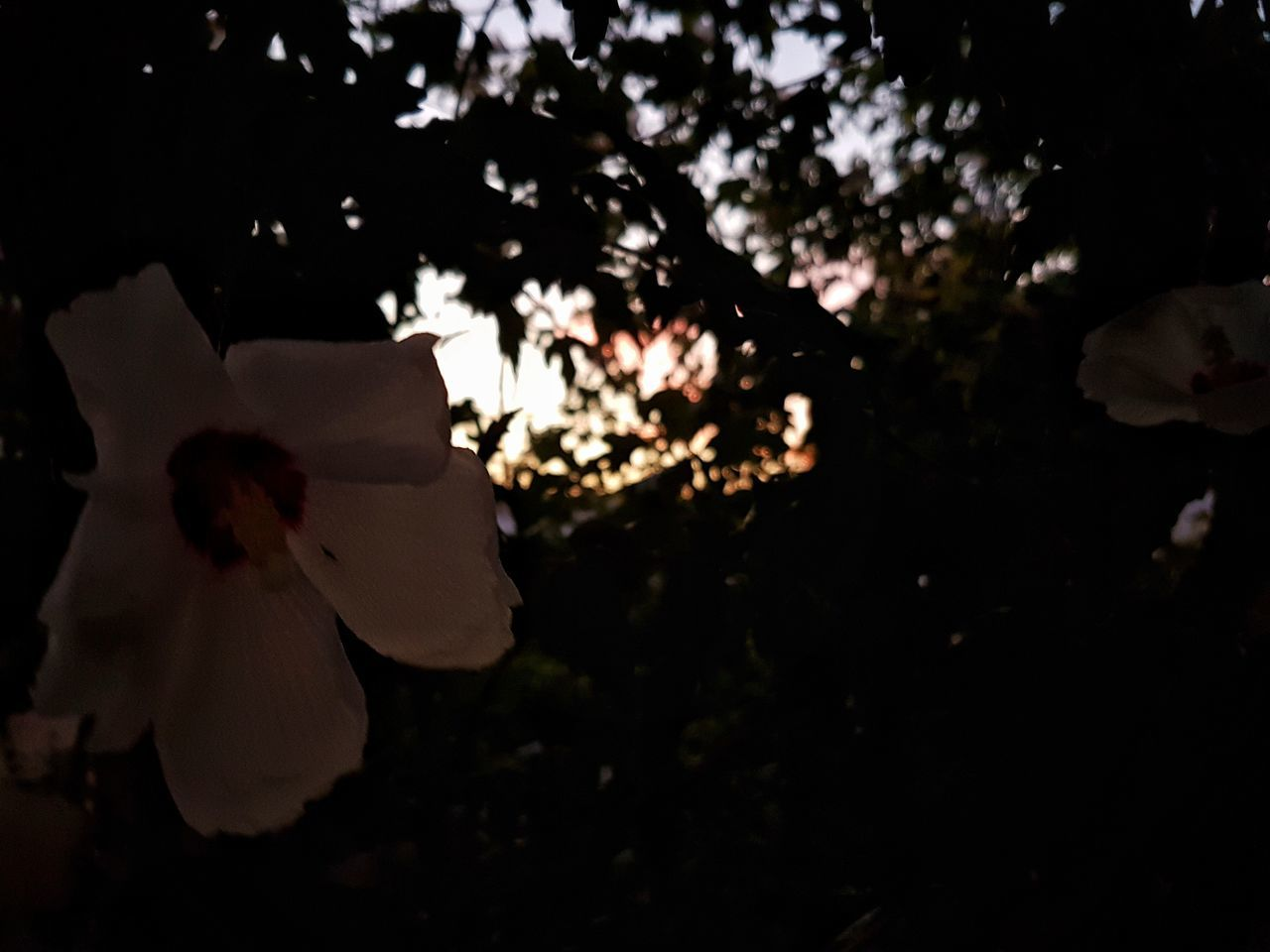 [TFC] maybe just a fail one 😅😅 Tree Sunset No People Outdoors Close-up Nature Night Contrast Scenics Sunlight Inspirations Dark Darkness And Light Garden Flower Flowers White Leaves Beauty In Nature Colors Tranquility Fragility Light And Shadow Hope Trying New Things