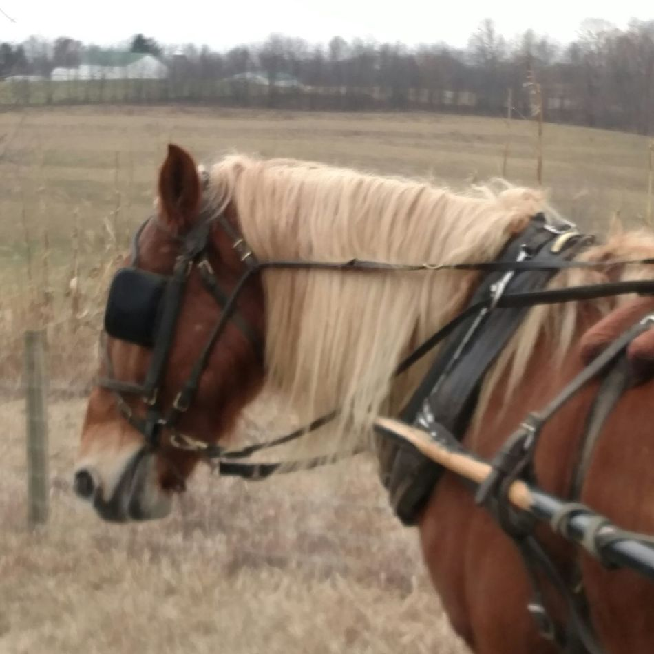 Sugarcreek Ohio, USA The Purist (no Edit, No Filter) From My Point Of View Things I Saw Today Horse Horse Drawn Carriage Working Animal Working Horse Amish Country Girls Day Out! Blonde Hair Horse Life Horsepower Horselovers