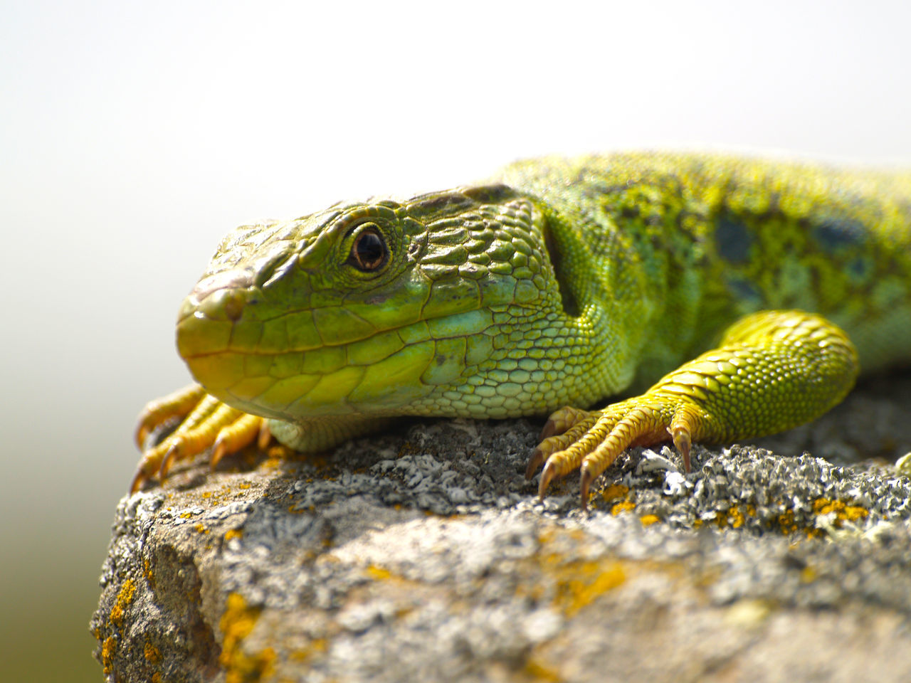Animal Animal Themes Animal Wildlife Animals Animals In The Wild Animals In The Wild Day Eyed Lizard Green Jeweled Lacerta Lacerta Lacerta Lepida Lizard Male Nature No People Ocellated Lizard One Animal Outdoors Reptile Reptile Sunbath Sunbathing Timon Lepidus Wildlife