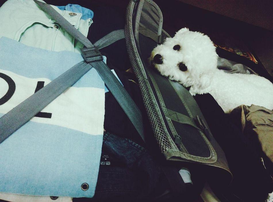 旅行犬 Taoyuan Whitepoodle Summer Travel Toypoodle