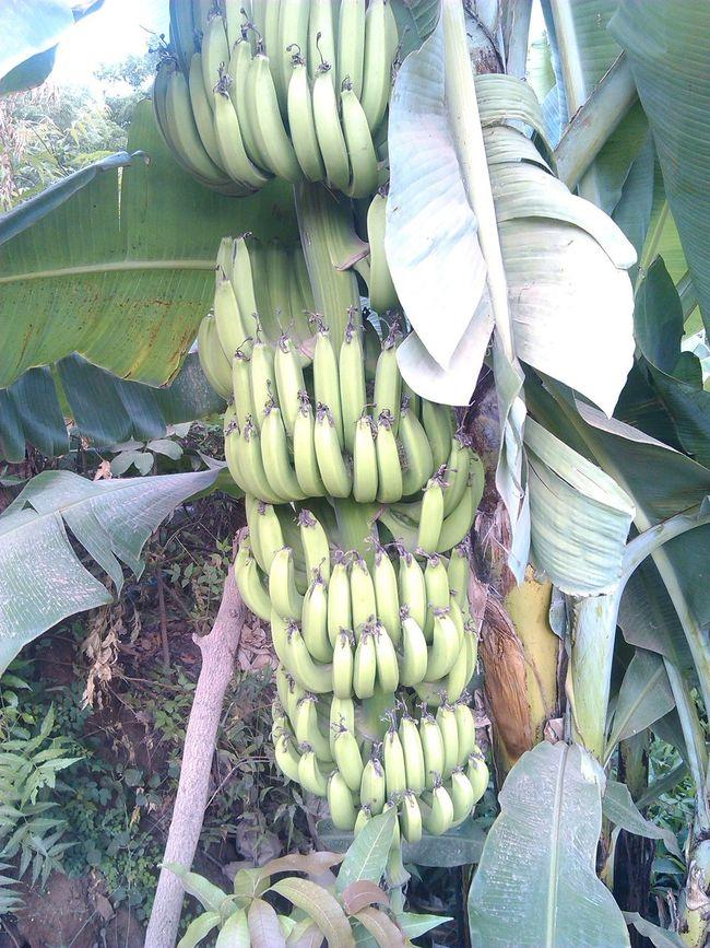 mkungu wa ndizi In swahili