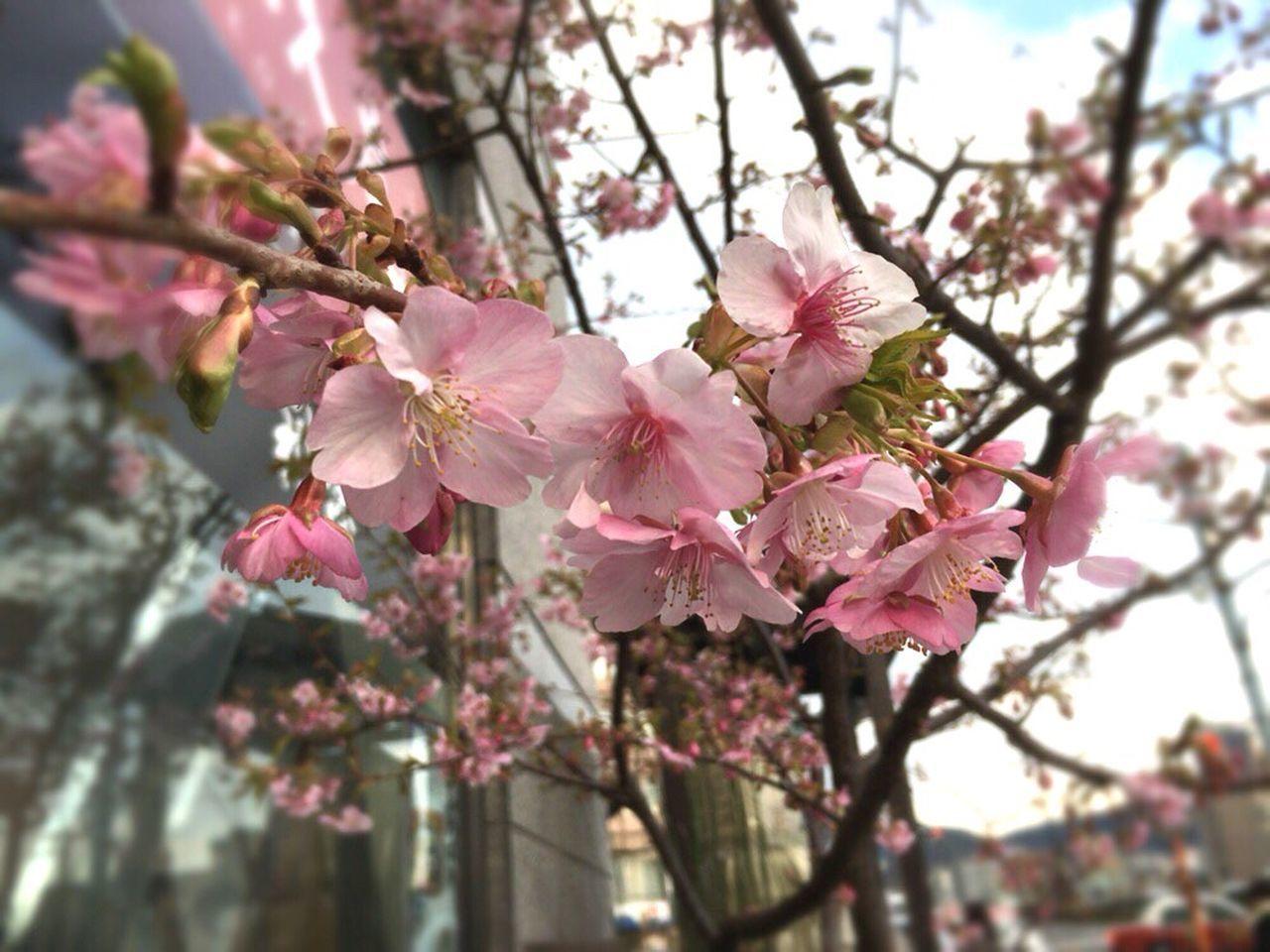 Kyoto City February Sakura February Cherry Blossoms Kyoto Sakura 2017 Kyoto Sakura Kyoto Spling Kyoto,japan Cherry Blossoms Cherry Blossom Kyoto Cherry Blossom Sakura 2017 Kyoto Spling Flower Kyoto, Japan