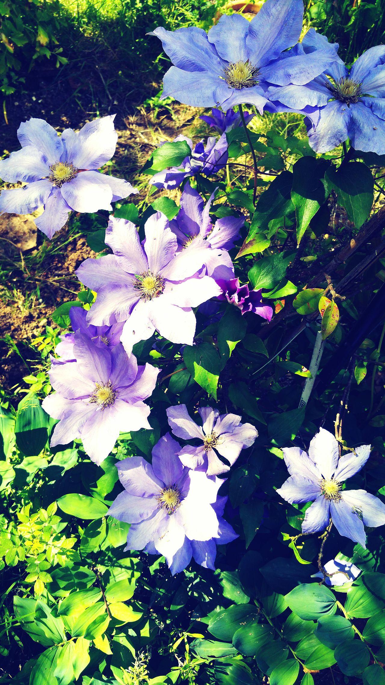 Flower Beauty In Nature Fragility Petal Blooming Flower Head Nature Freshness Clematis Clematis Flower