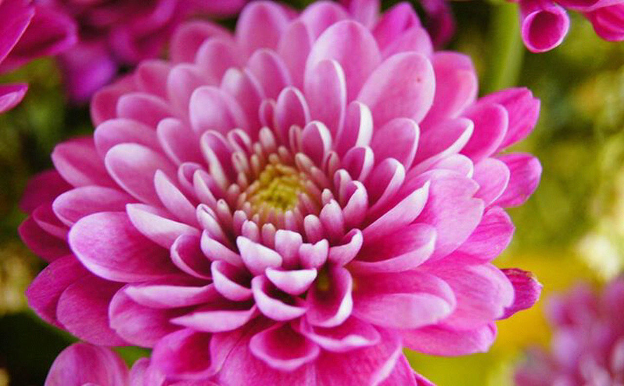 flower, petal, nature, fragility, beauty in nature, pink color, growth, flower head, freshness, outdoors, plant, close-up, day, focus on foreground, blooming, no people, dahlia, peony