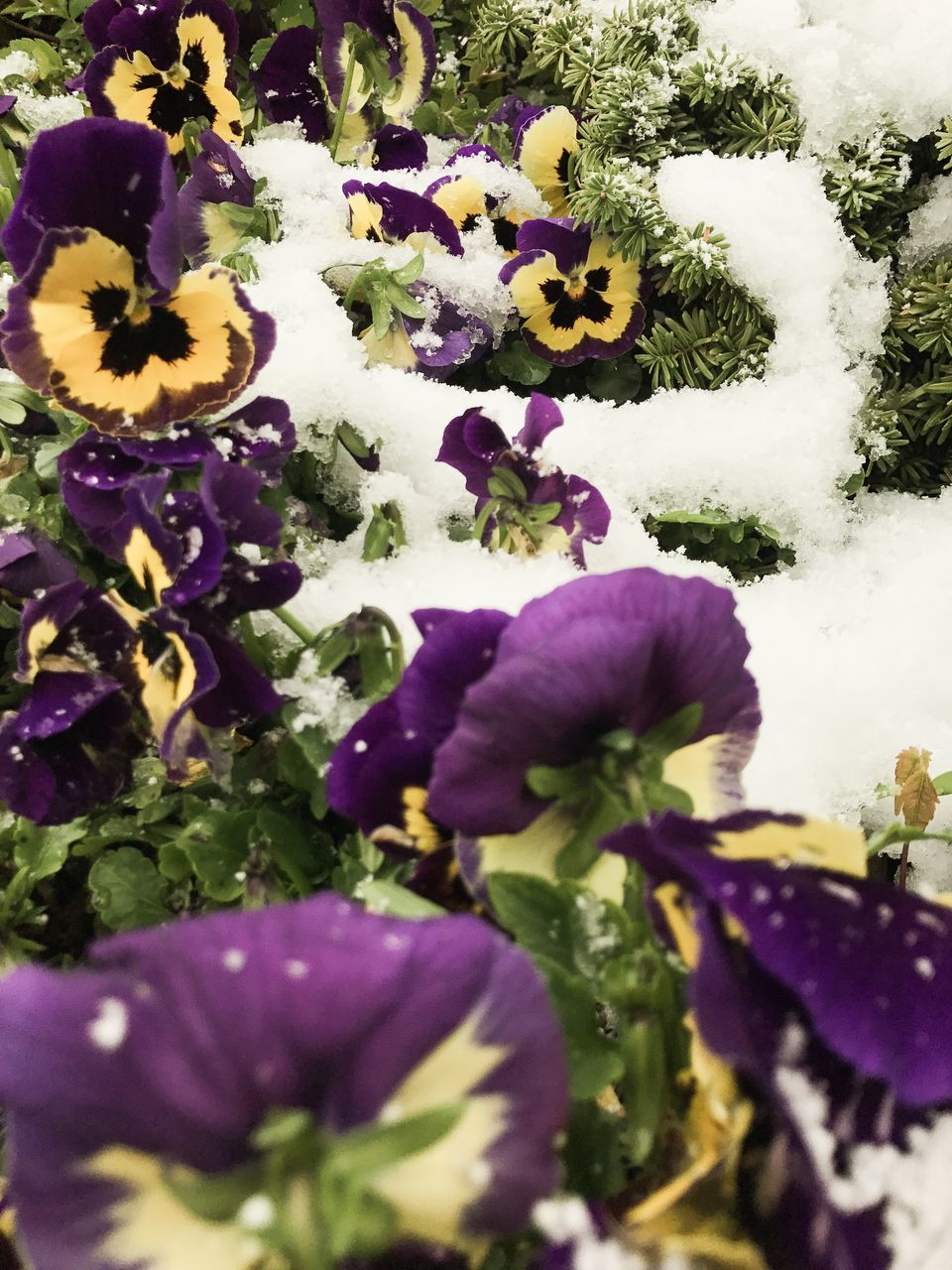flower, purple, nature, beauty in nature, fragility, growth, petal, plant, freshness, no people, flower head, day, outdoors, pansy, blooming, close-up