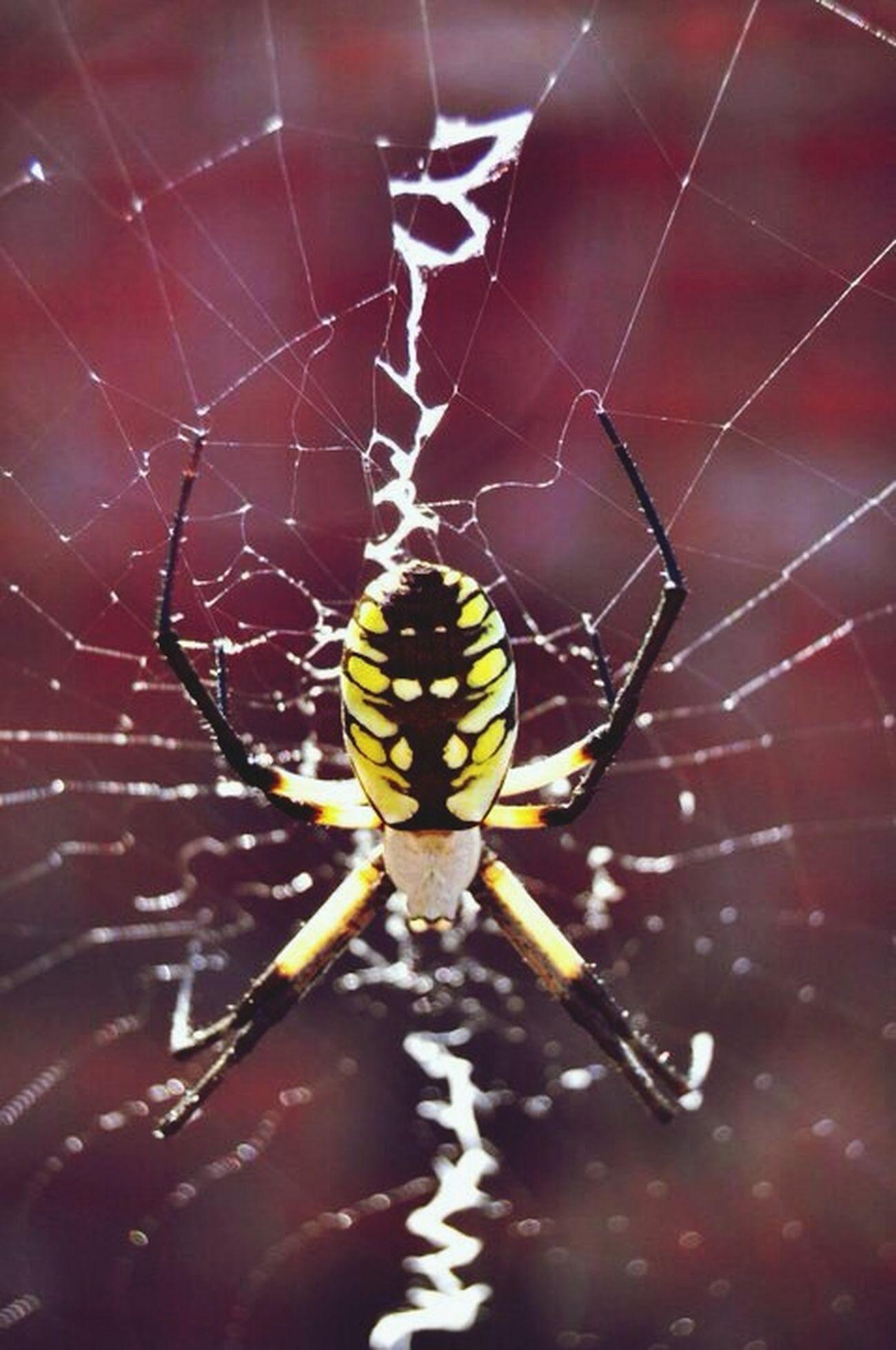 Garden Spider Spider Spider Web Web