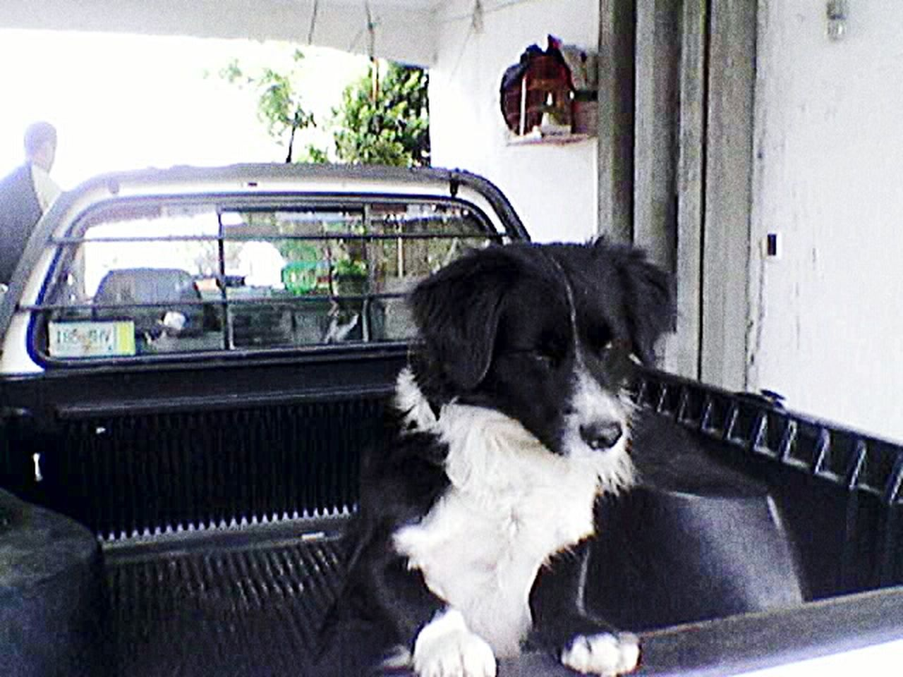 car, pets, dog, border collie, transportation, domestic animals, sitting, day, outdoors, mammal, animal themes, no people
