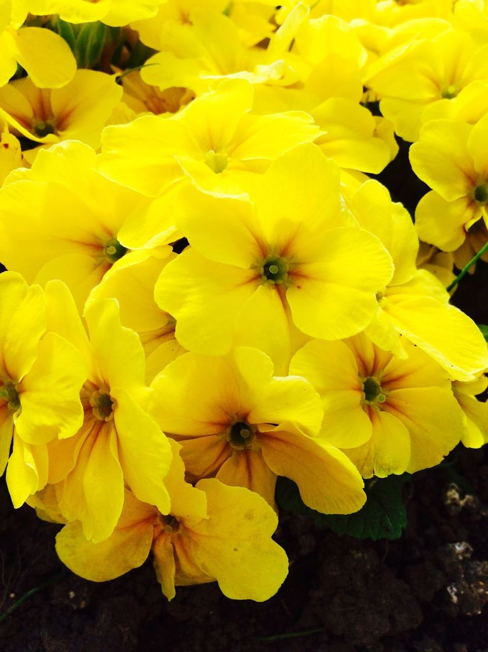 Beautifulyellowflower Flower Collection Nature_collection Gardening Flowers,Plants & Garden Plants And Flowers Beautiful Nature Beautiful Flowers Summer Spring Flowers