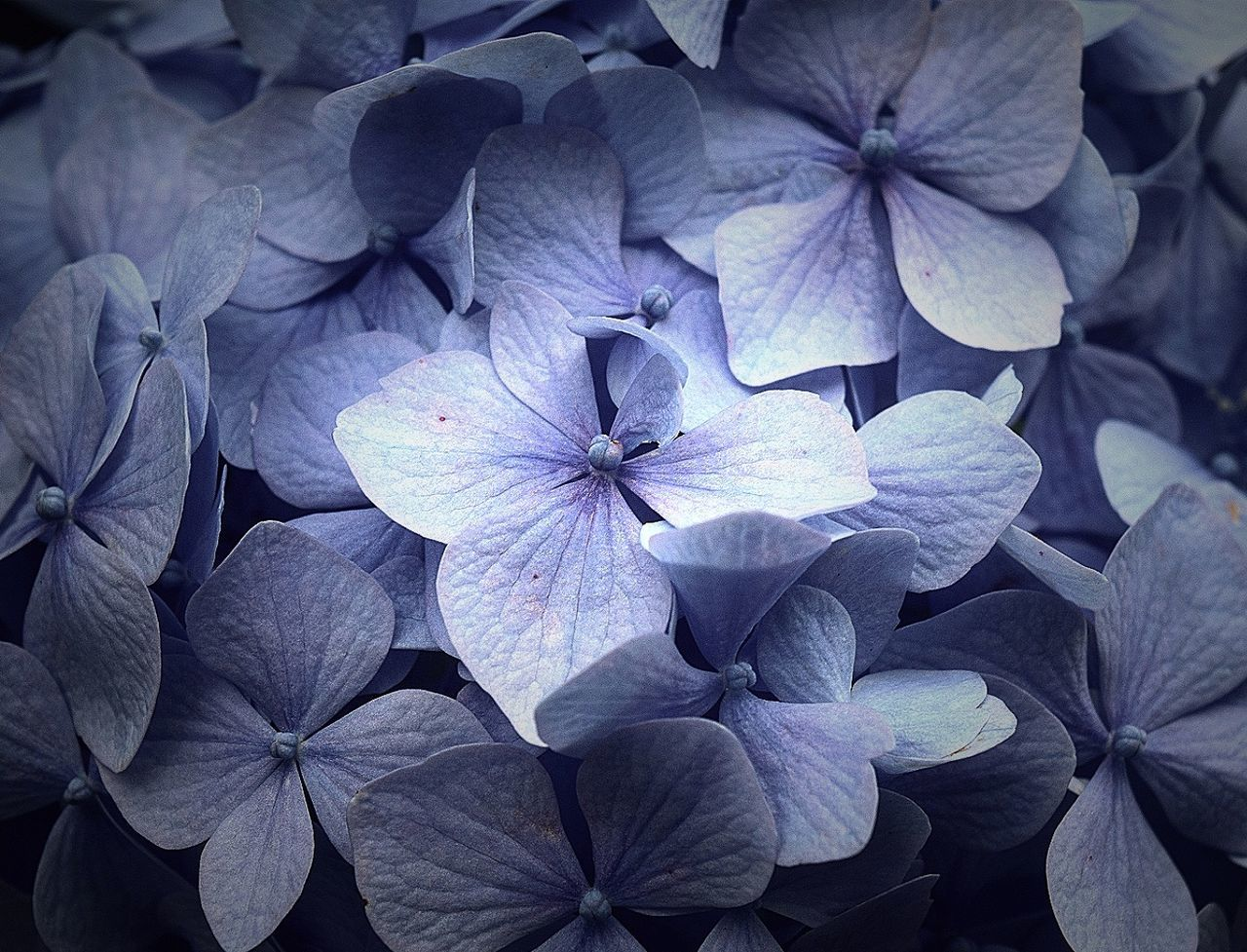 flower, beauty in nature, petal, plant, growth, purple, close-up, flower head, no people, day, nature, freshness, outdoors, fragility, petunia, blooming, periwinkle