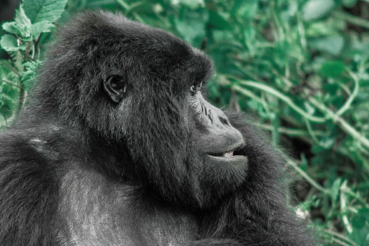 Beautiful stock photos of gorillas, Animal Themes, Ape, Close-Up, Day