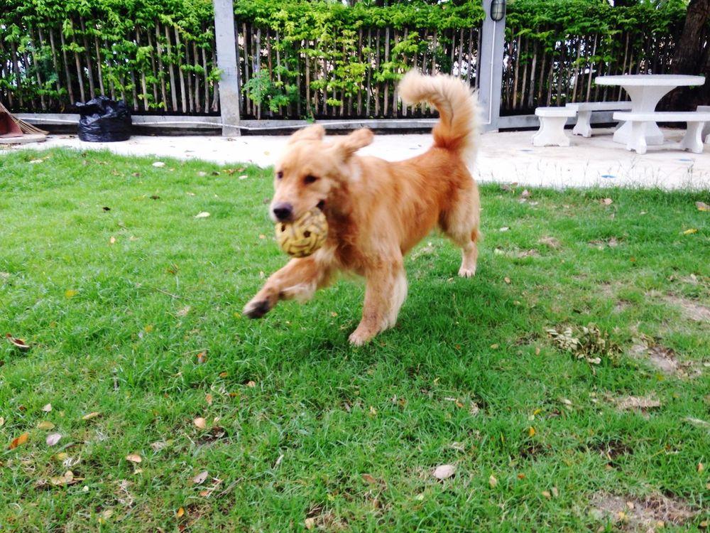 Happy dog Dog goldenretriever Goldenretriever
