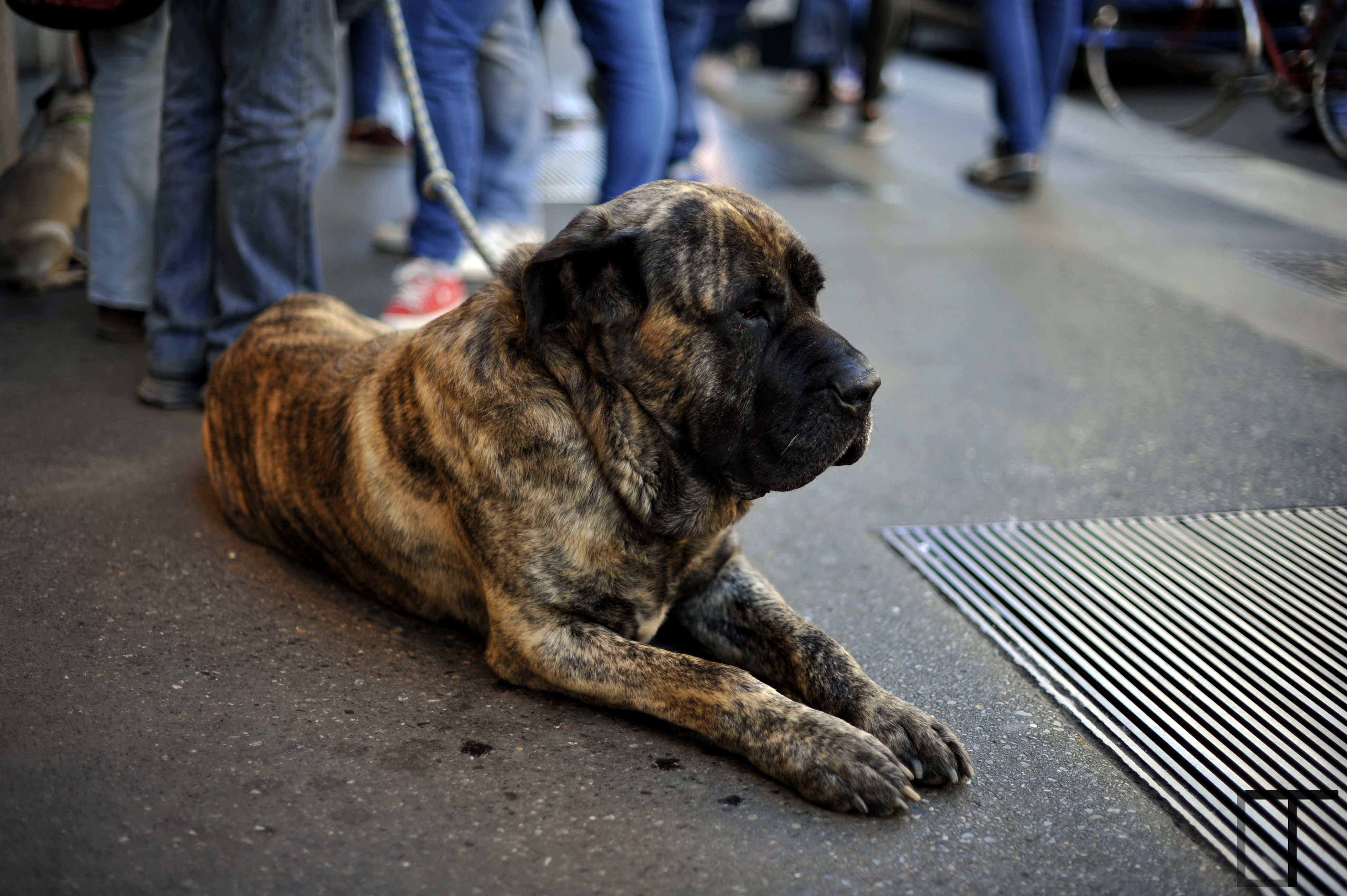 pets, animal themes, mammal, domestic animals, dog, one animal, street, low section, pet owner, men, sidewalk, person, incidental people, walking, road, pet leash, outdoors, day