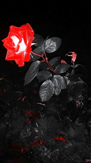 Flowers Roses Rose🌹 After Midnight Black And White Blackandwhite Midnite Flowers,Plants & Garden In My Garden