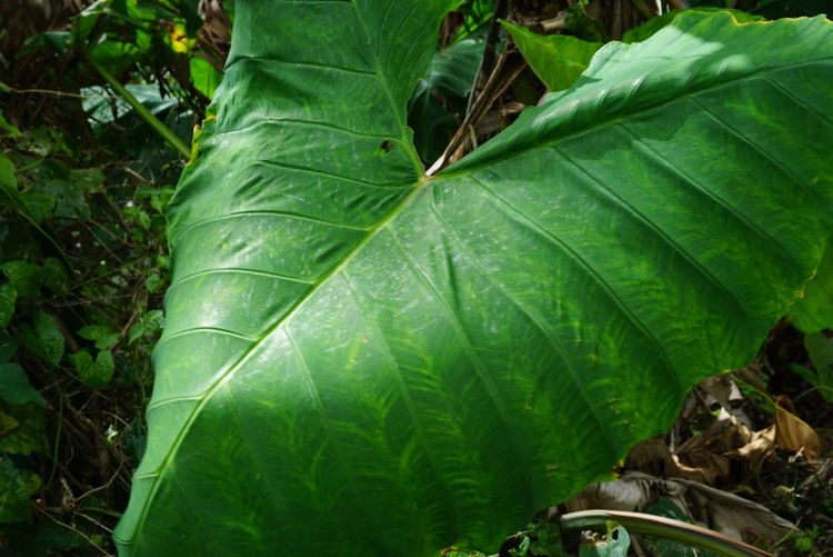 Giant Leaf Outdoor Photography