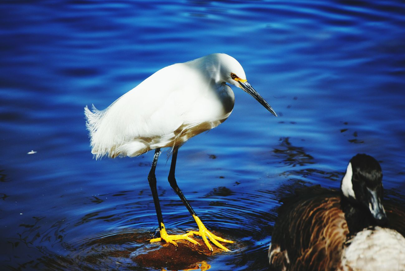 Snowy Egret Nikon D3000 Snowyegret Bird Photography Birds Water Shorebirds Lake Nature Wildlife