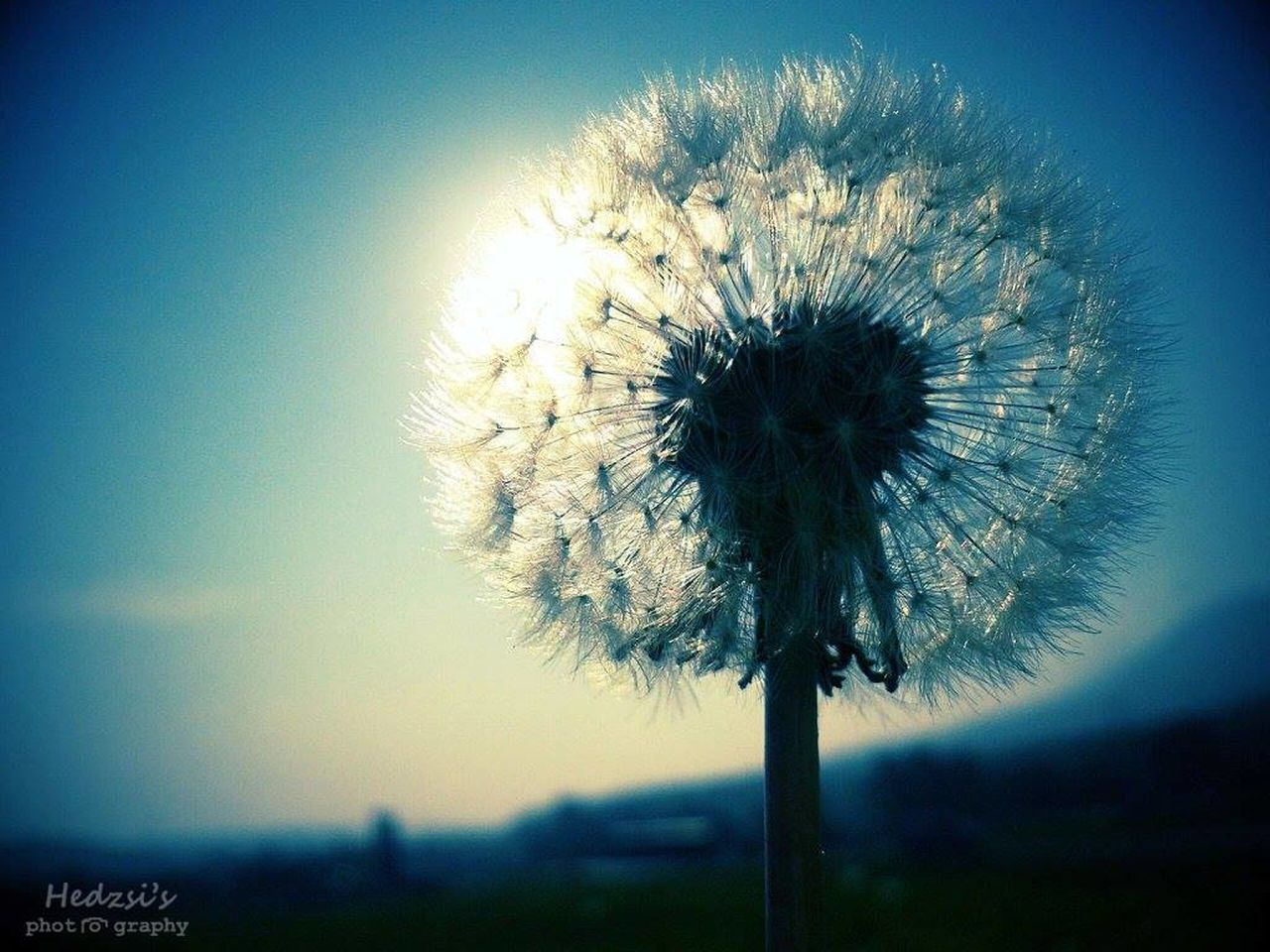 flower, dandelion, nature, fragility, beauty in nature, freshness, flower head, sky, outdoors, growth, no people, day, close-up