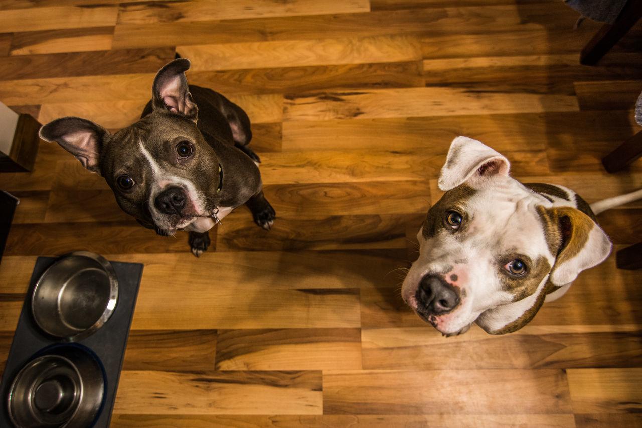 Beautiful stock photos of american bulldog, American Bulldog, Animal Themes, Anticipation, Brown