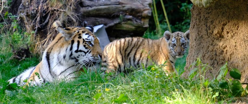 A tiger and the baby... bw should do all to save them on our planet!!! ******** Amazing Animals Animal Themes Animal Wildlife Animals In The Wild Baby Beauty In Nature Day Fresh On Eyeem  Grass Mammal Nature Outdoors Tiger Tiger Baby Tiger-love
