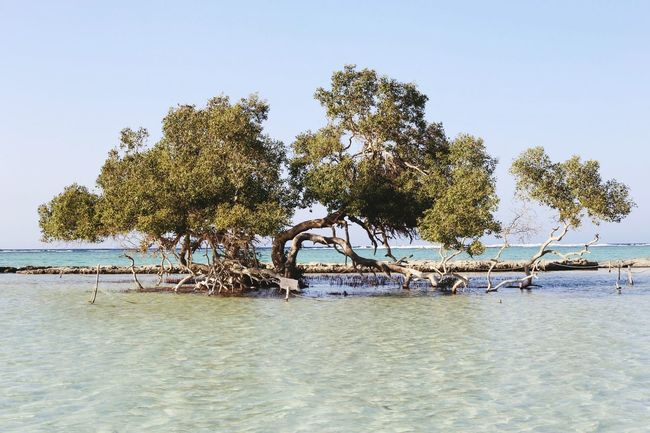 Mangroves are salt tolerant trees and are adapted to life in harsh coastal conditions. They contain a complex salt filtration system and a complex root system to cope with salt water immersion and wave action. Mangroves Mangrovetrees Egypt Nature Photography Adventure