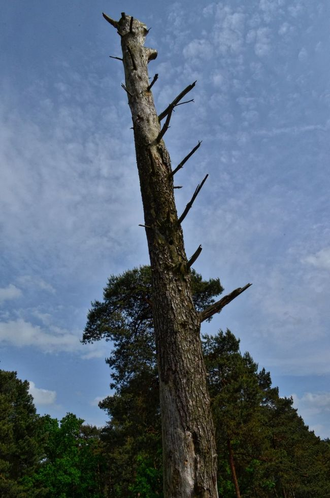 Remnants of natural decay Beauty In Nature Blue Clouds Day Fluffy Clouds Landscape Nature Netherlands Outdoors Sky Tree Tree Trunk Veluwe