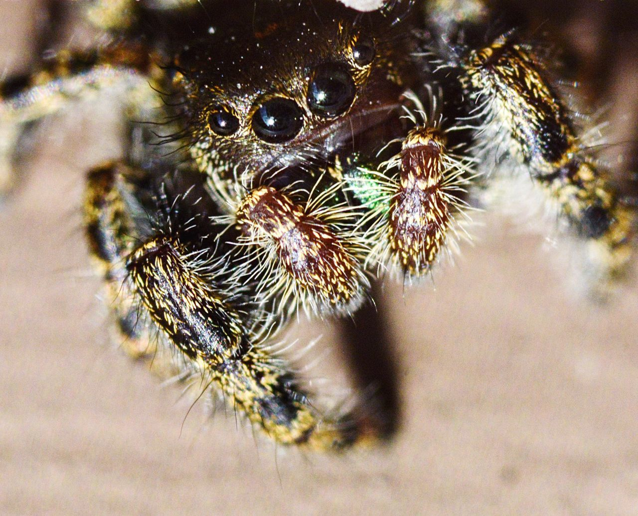 Cute macro jumping spider Spider One Animal Jumping Spider Animal Themes Animals In The Wild Close-up Arachnid Animal Wildlife No People Nature Day Outdoors Macro Spider Macro Nature Macro Photography Jumping Spider Macro_collection Macro Macro Beauty