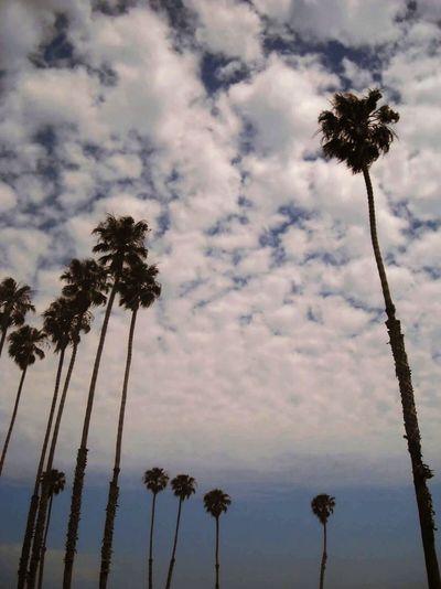 Tall & Short Palms Palms Palm Palmtrees Palmtree Tallandshort Bigandlittle Bluesky CA California Santabarbara Thelongandshortofit