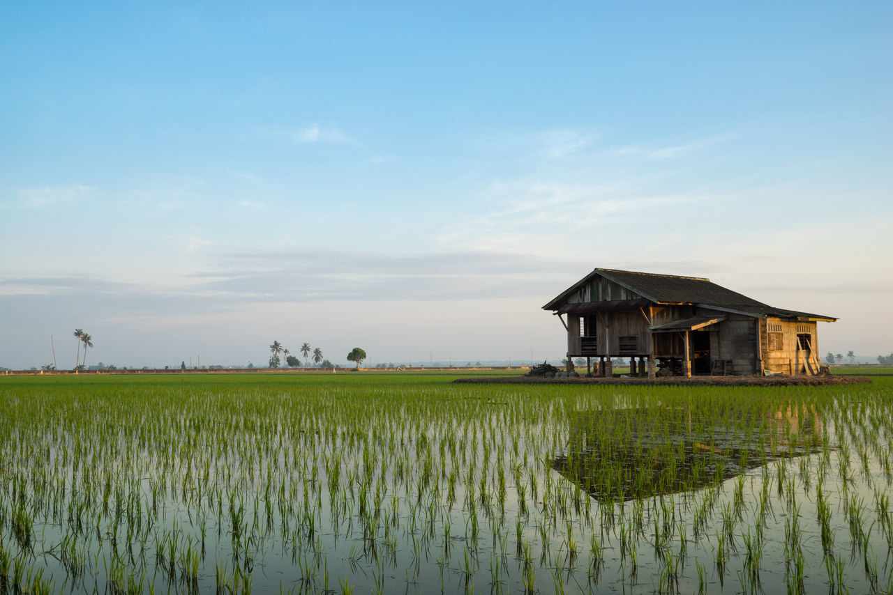 Abandoned wooden house in middle of paddy field with a sunrise sky in the background. Agriculture Beauty In Nature Blue Cloud - Sky Crop  Cultivated Land Day Farm Farmland Field Freshness Green Color Growth In Front Of Landscape Nature No People Outdoors Plant Plantation Rural Scene Scenics Sky Tranquil Scene Tranquility