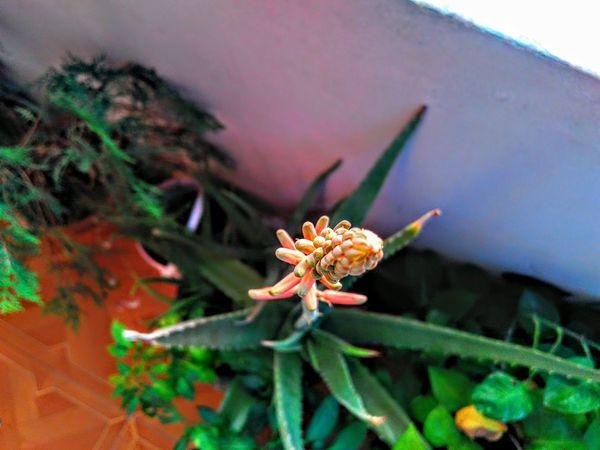 Flower Aleovera
