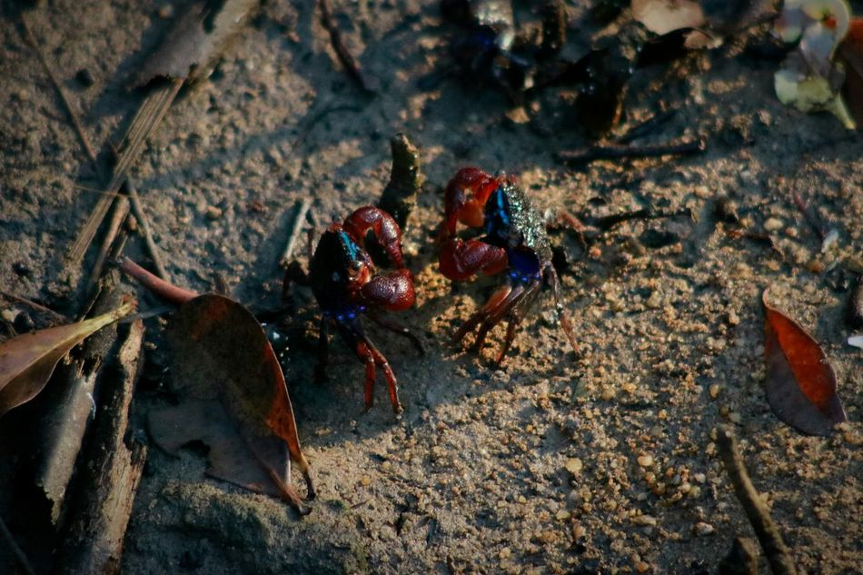 Animal Themes High Angle View No People Animals In The Wild Close-up Outdoors Day Nature Large Group Of Animals Mammal Colony Insect Crabs Fighter Mangrove Forest Nature Leave Animal Wildlife EyeEmNewHere Resist