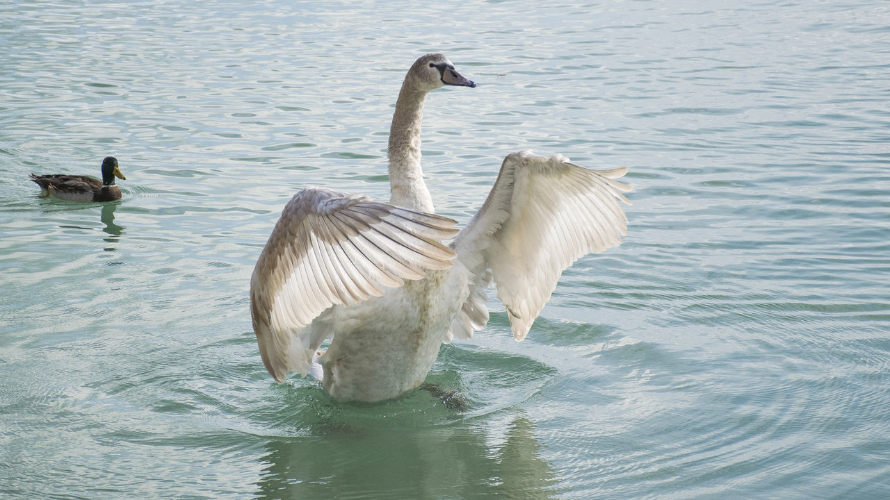 Swan Flapping Wings While Swimming In Lake