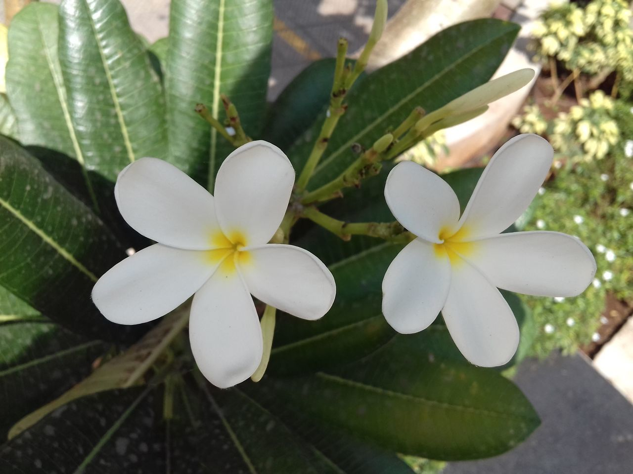 flower, growth, white color, frangipani, petal, beauty in nature, flower head, leaf, periwinkle, fragility, high angle view, plant, nature, day, freshness, outdoors, close-up, no people, blooming