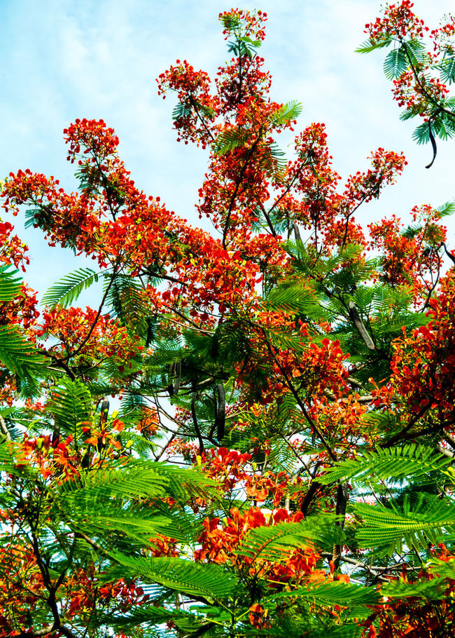 Royal Poinciana flower with cloudy sky Beauty In Nature Blooming Blossom Delonix Regia Flam-boyant Flower Fresh Green Green Color Growth Low Angle View No People Orange Color Red Royal Poinciana Scenics Season  Sky Summer Thailand The Flame Tree Tranquility Tree Tropical
