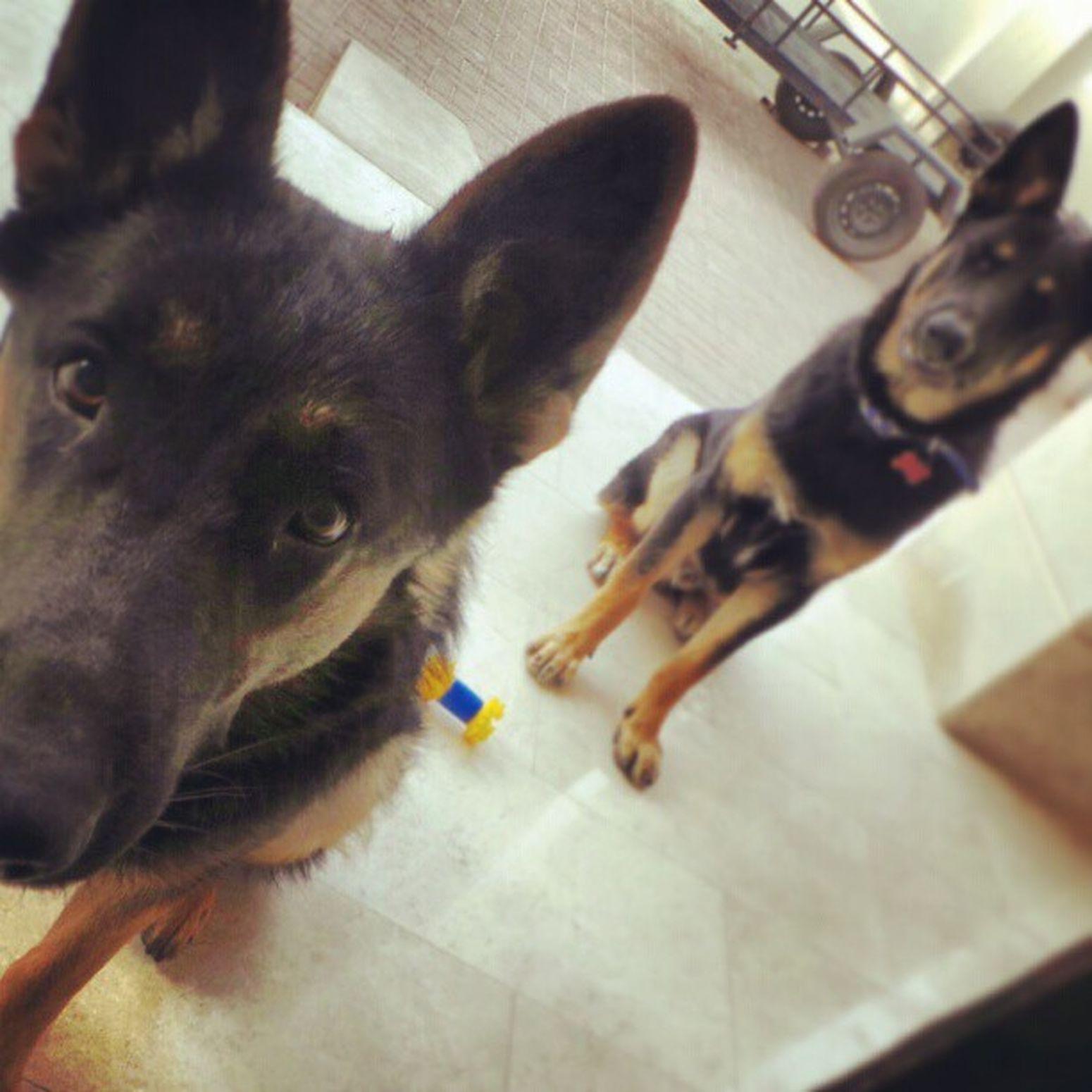 Mydog Dog Pet Animsl germanshepherd