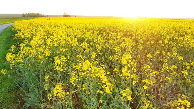 Hello World Relaxing Beauty Of Nature Landscape #Nature #photography Landscape_Collection Yellow Flowers Flowerporn Flower Collection France Photos à Seine Et Marne Iverny