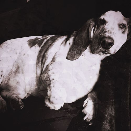 A relaxed William Relaxedand Happy Dog Pets One Animal Indoors  Close-up Taking Pictures Iphonephotography Dogbone Pampered Pooch Ilovemybassethound Bassethound Moments Bassethoundsare Best Relaxeddoggie Looking At Camera Blackandwhite Photography RescuedIsMyFavoriteBreed Rescuedbassethound