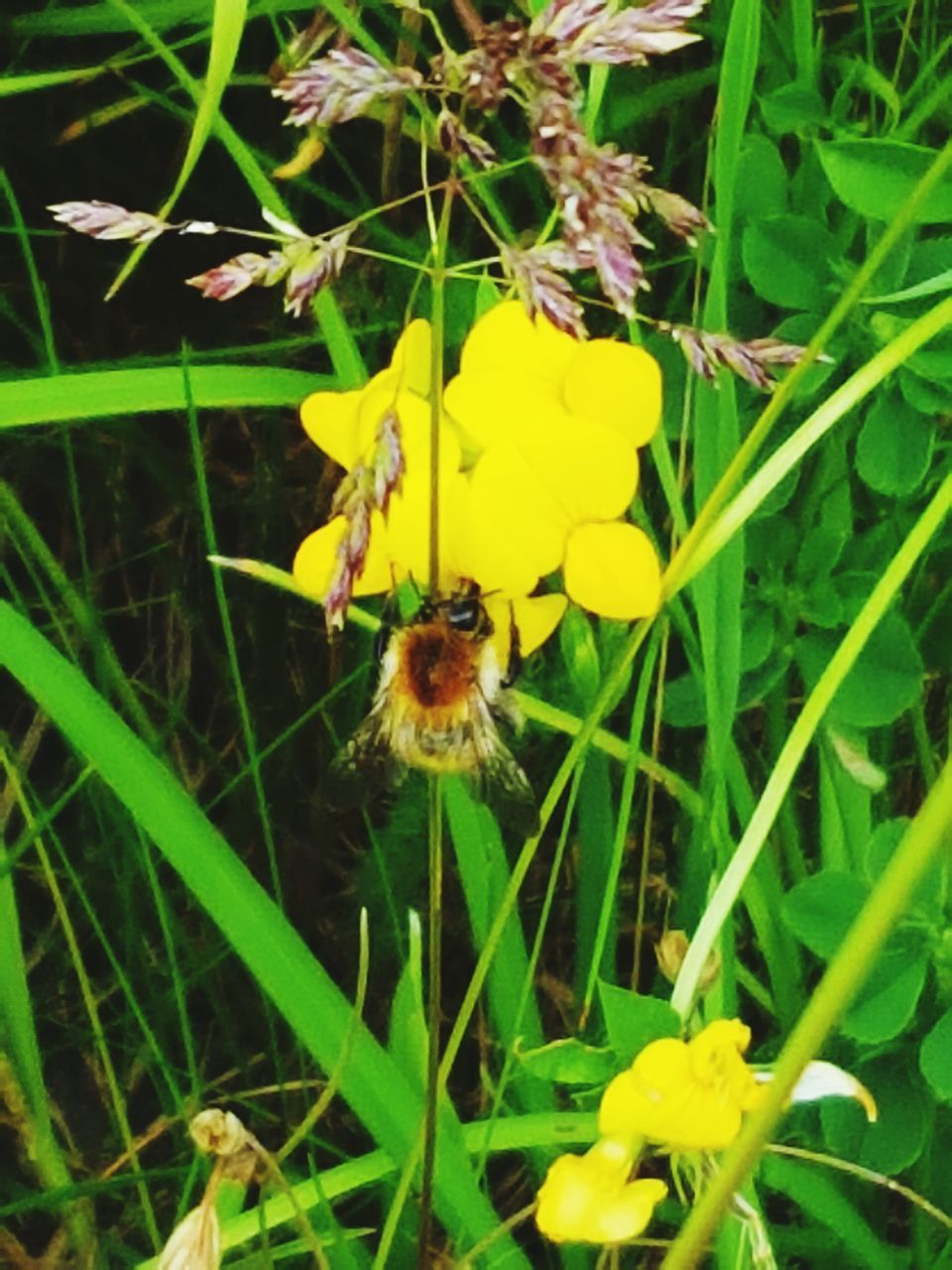 flower, one animal, yellow, growth, insect, animal themes, nature, petal, plant, animals in the wild, fragility, beauty in nature, green color, freshness, flower head, bee, outdoors, pollination, animal wildlife, no people, day, grass, leaf, close-up, blooming