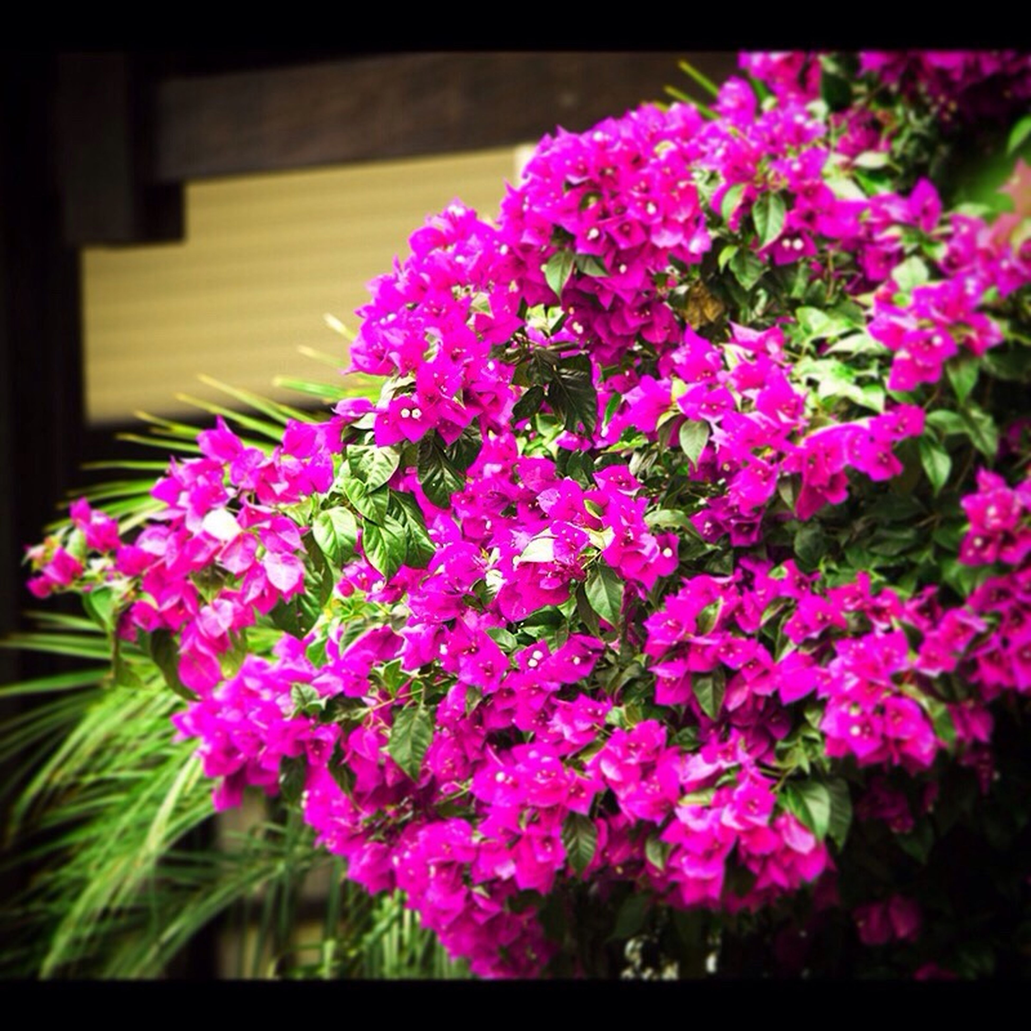 flower, freshness, fragility, petal, growth, purple, beauty in nature, transfer print, pink color, flower head, blooming, close-up, nature, auto post production filter, plant, in bloom, focus on foreground, pink, blossom, selective focus