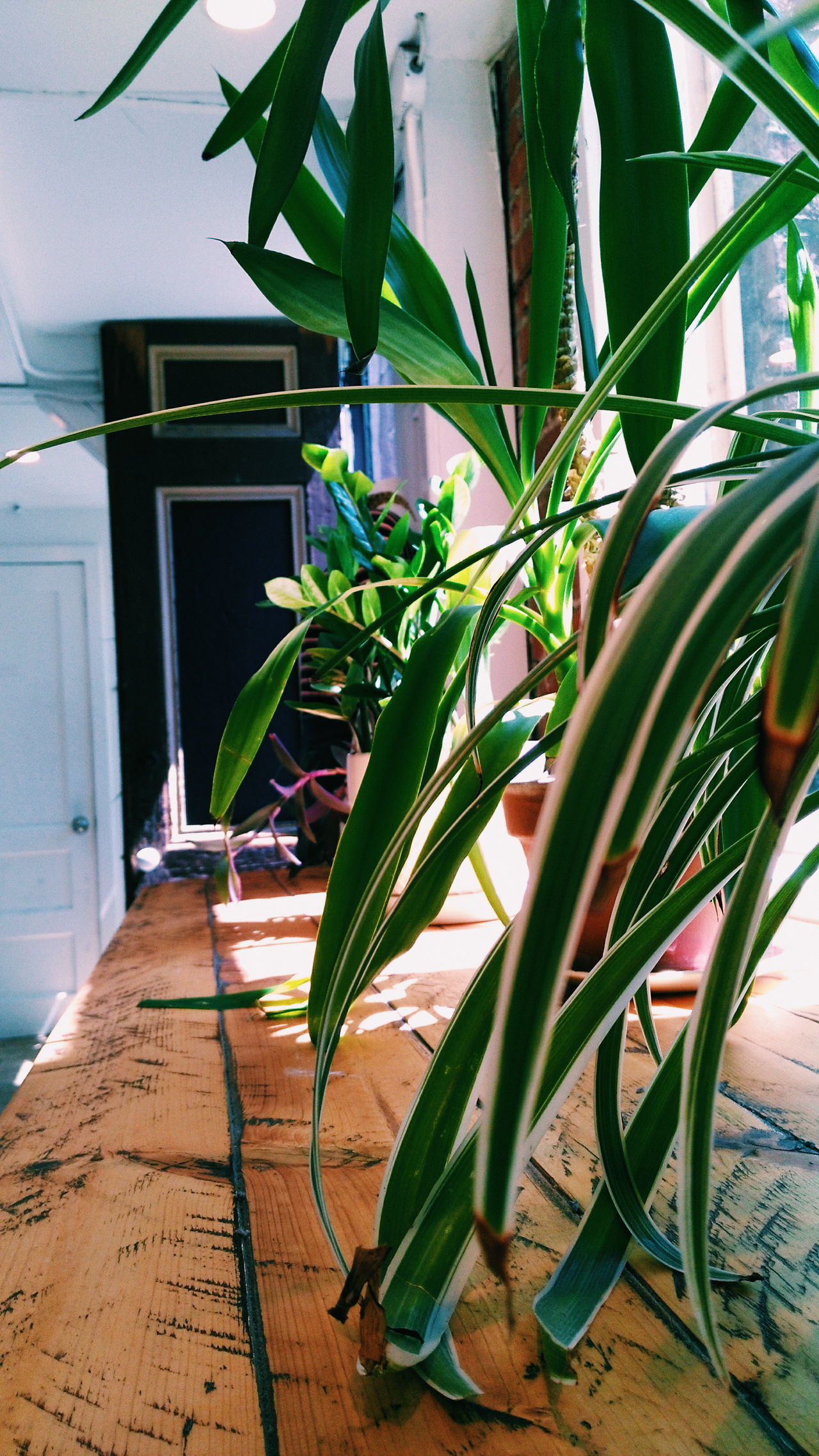 Day Indoors  Leaf Plant No People Nature Close-up Plants Visual Feast Summer Inside Photography Natural Light Photooftheday Light And Shadow Lifestyle Leafs Photography Patterns In Nature Indoors  Plant Sunlight Sunbeam Sunshine Wood - Material Wooden Table Potted Plant