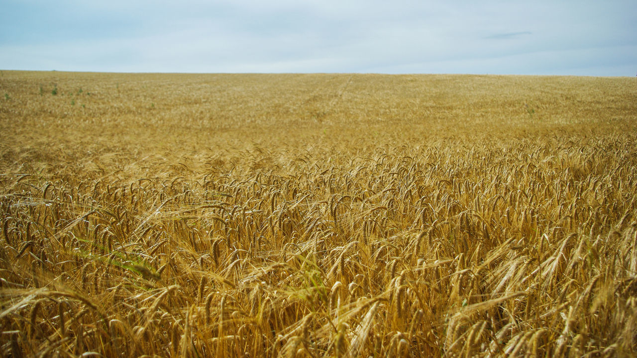 As we lie in fields of gold / Agriculture Beauty In Nature Cereal Plant Cultivated Land EyeEm Best Shots Field Fields Of Gold Gold Growth Horizon Over Land Idyllic Landscape Nature No People Outdoors Photography Photos Rural Scene Tranquility Wheat Beautifully Organized