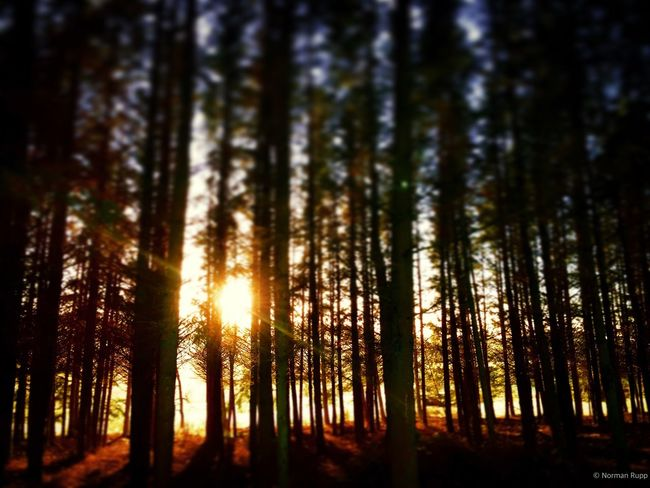 Somewere in the Woods Normanrupp In The Forest Sunset Instagramer Nrnrp Germany Sonyalpha SonyNex3 Photography
